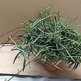 긴잎칼마삭 [묵은아이 한몸]|