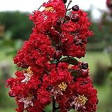 인테리어 조경 신품종 배롱나무 다이너마이트 대품 포트 묘목|