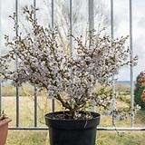 실내 인테리어 벚꽃 벚나무 신품종 애기벚 운용벚나무 묘목 포트|