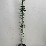 꽃대가득한 은엽아카시아/ 동일품배송/ 높이 90|