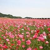 (1000립)꽃양귀비 혼합 씨앗 