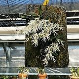 덴드로비움 링거포메르.굴피부작용걸이.고급종.좋은향.흰색꽃.(꽃이 특이하고 예쁩니다).잎모양과꽃모양이 앙징맞고 예쁩니다.인기상품.~|