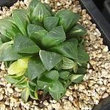 수금56|Haworthia retusa