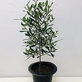 올리브나무 (동일품배송 )|