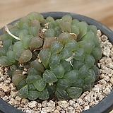 자옵튜샤 207-107|Haworthia var. obtusa(purple)