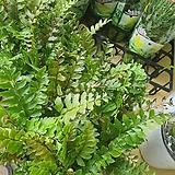 트란카툴라 고사리종30개한정|