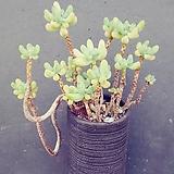 7애심대품|Sedum pachyphyllum thin blue form