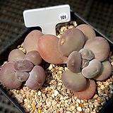 월미인 군생 101|Pachyphytum oviferum Tsukibijin