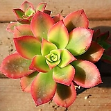 까라솔 5000|Aeonium decorum f variegata