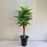 녹보수 외목대/공기정화식물/반려식물/온누리 꽃농원|Sedum dendroideum
