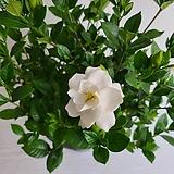 치자나무/공기정화식물/반려식물/온누리 꽃농원|