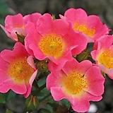 독일장미.4계.토폴리나.예쁜핑크색에노랑색립프.old rose 향기.꽃3~4cm.아주예뻐요.정원장미.월동가능.상태굿.늦가을까지 피고 합니다.~~ 