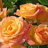 독일장미.4계.가르텐 슈파스.예쁜노랑,빨강 혼합색.old rose 향기.꽃7~8cm.아주예뻐요.정원장미.월동가능.상태굿.늦가을까지 피고 합니다.~~~ 