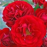 독일장미.4계.보르도.예쁜 빨강,레드색.old rose 향기.꽃10cm.아주예뻐요.정원장미.월동가능.상태굿.늦가을까지 피고 합니다.~ 
