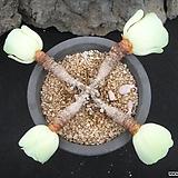 기간티아 0712|Greenovia diplocycla var.gigantea