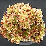 청법사철화 0712|Aeonium arboreum