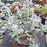 부용두몸 Echeveria Pulv-oliver