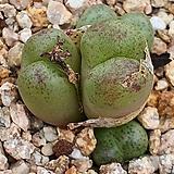 피치칼라(마우가니)|Conophytum maughanii