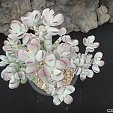 방울복랑 0713|Cotyledon orbiculata cv