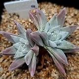 화이트그리니 156|Dudleya White greenii