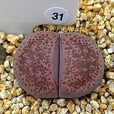 테리칼라 핑키 31|Echeveria cv Pinky