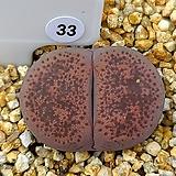 테리칼라 핑키 33|Echeveria cv Pinky