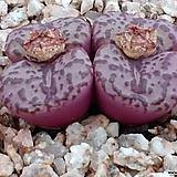 옵코델룸코노피튬|Conophytum