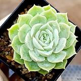 온슬로우 62- Echeveria cv Onslow