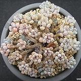 블루빈스 0714|Graptopetalum pachyphyllum Bluebean