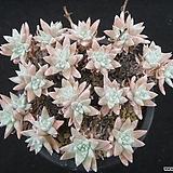 화이트그리니 0714|Dudleya White greenii