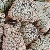 백은픽타|Haworthia picta