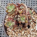 퍼플드림 Graptoveria cv Purple Dream