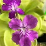 벌레잡이제비꽃 제체리|