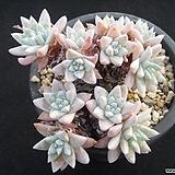 화이트그리니 0715|Dudleya White greenii