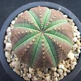 오베사 0715|Euphorbia obesa (Baseball Plant)