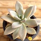 담설금|Graptopetalum Paraguayensis Awayuki