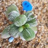 호피복랑금 자구1|Cotyledon orbiculata cv variegated