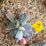 호피복랑금 자구2|Cotyledon orbiculata cv variegated