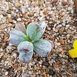 호피복랑금|Cotyledon orbiculata cv variegated