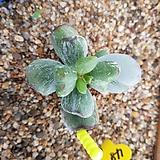 호피복랑금 자구4|Cotyledon orbiculata cv variegated