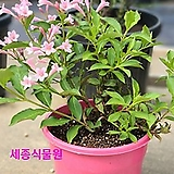 신품종 조경수 정원수 키작은 병꽃 핑크파펫 (Pink poppet) 묘목 화분|