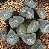 만상 MM-3|Haworthia maughanii