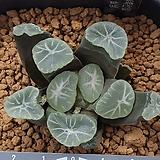후쿠야 특선발 오로라 실생|Sedum rubrotinctum cv.Aurora