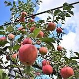 과수 사과_ 홍로 포트|
