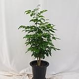 녹보수 / 신종 녹보수   전체높이: 90cm내외, 식물높이: 70cm내외 