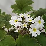 가고소앵초(흰꽃)|
