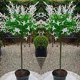 플라밍고 셀릭스 스탠다드 화분상품 ♥셀렉스 외목수형♥삼색버드나무|