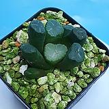 만상 실생파종|Haworthia maughanii