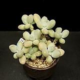 Pachyphytum oviferum