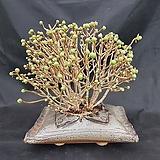 선동창분재대품(분채배송)|Aeonium spathulatum